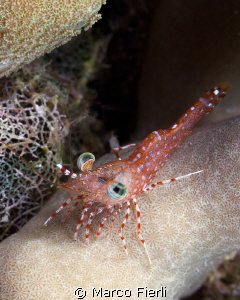 Henderson's Hinge-beak shrimp by Marco Fierli
