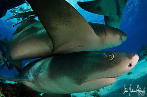 Nothing like piling on with Lemon Sharks. This image was ... by Steven Anderson