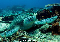 Resting Green Turtle - Taken with Magic Filter by John Miller