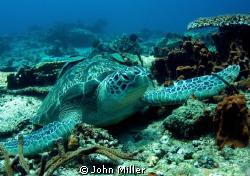 Resting Green Turtle - Taken with Magic Filter by John Miller