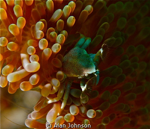 playing with my torch , on a fishing Porcelain crab by Alan Johnson
