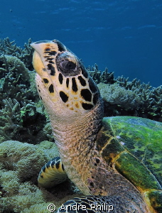 """Who are you...?"" - a surprised young hawksbill turtle ch... by Andre Philip"