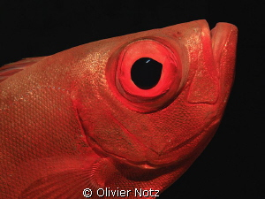 Common Big Eye by Olivier Notz