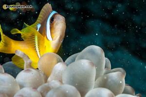 Clown fish posing to the camera :) by Ran Mor