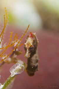 Pygmy Seahorse  This seahorse was one of the hardest thi... by Iyad Suleyman