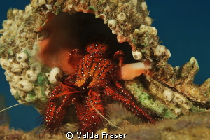 A crab with a self image problem.  It's battling because ... by Valda Fraser