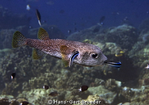 Porcupinefish Cleaning station Nikon D 300 S, Micro 60,... by Hans-Gert Broeder