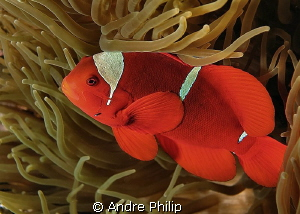 spine-cheek clownfish by Andre Philip