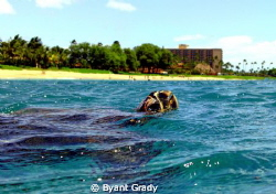 this is an image of a Hawks Bill turtle of the west side ... by Byant Grady