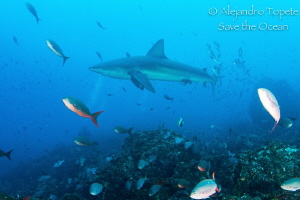 Shark  with fishes, Galapagos Ecuador by Alejandro Topete