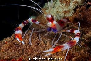 Banded Coral Shrimp by Abimael Márquez