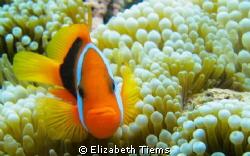 Nemo - Port Vila, Vanuatu. by Elizabeth Tiems