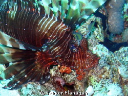 Lionfish flared out as I approached - not sure who was mo... by Trevor Flanagan