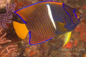 King Angel Fish, Puerto Vallarta Mexico by Alejandro Topete