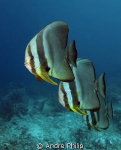 Batfish Parade by Andre Philip