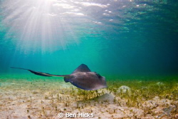 A stingray glides along the flats off the coast of Man O ... by Ben Hicks