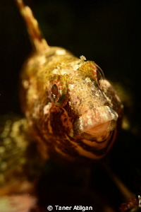 Blenny from Yassiada/Turkey by Taner Atilgan