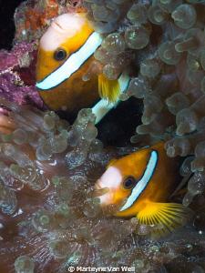 Nemos upside down in Anilao, Philippines by Marteyne Van Well