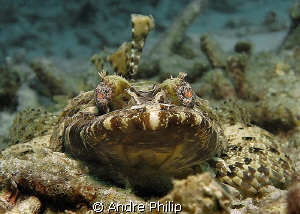 face to face with a small crocodilefish by Andre Philip
