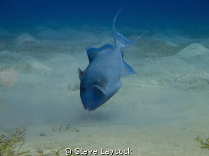 """Trigger fish prepares to """"dig"""" by Steve Laycock"""