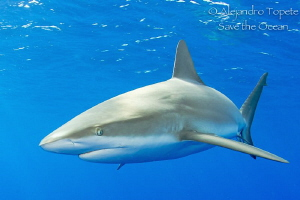 Shark close up, Gardens of the Queen  Cuba by Alejandro Topete