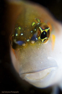Blenny Portrait/ No crop/ by Iyad Suleyman