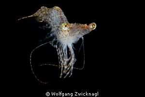 Also the night dives in Chuuk bear some nice surprises by Wolfgang Zwicknagl