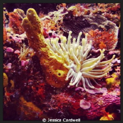 Sea Anemone off the coast of Cozumel, Mexico. Shot with a... by Jessica Cardwell