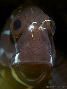 Blenny from Lembeh Strait by Iyad Suleyman