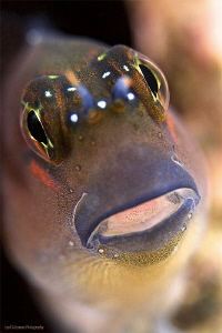 Blenny from the UAE