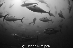 red tuna, endangered by overfishing. Maybe inside a net w... by Oscar Miralpeix