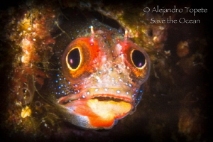 Blenny Scare, Acapulco Mexico by Alejandro Topete