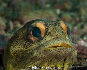 Giant jawfish in the sea of Cortez. They are really large... by Ellen Cuylaerts