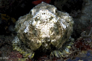 Scorpionfish's dramatic face expression. by Mehmet Salih Bilal