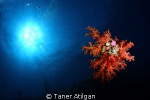 Soft coral on Giannis D by Taner Atilgan