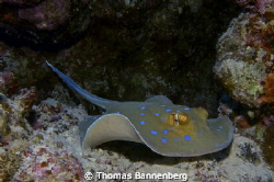 """Bluespotted ribbontail ray  NIKON D7000 in a Seacam """"Pr... by Thomas Bannenberg"""