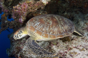 The green turtles were all over this wall dive by Larry Polster