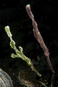 Robust ghostpipefish. Two with different colors. by Mehmet Salih Bilal