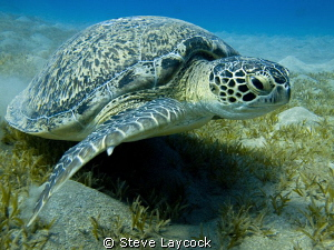 Green turtle by Steve Laycock