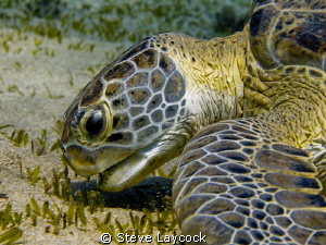 Green turtle munching - no strobe by Steve Laycock