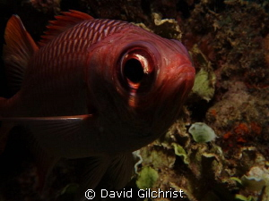 'In your face' Curious soldierfish, Chuuk Lagoon by David Gilchrist