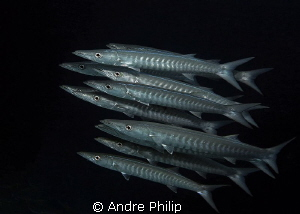 """Oceans Eleven"" - close encounter with a barracuda school by Andre Philip"