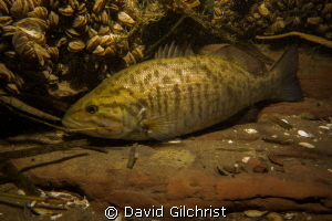 'Out of the current' Smallmouth Bass rests on a ledge in ... by David Gilchrist