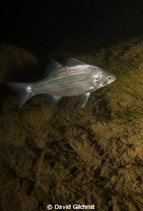 'New subject' White Bass have made their appearance in th... by David Gilchrist