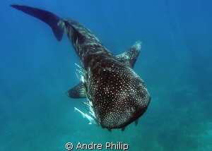 """Coming up"" - a ""other shot"" of a young whaleshark, which... by Andre Philip"