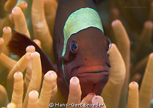 Orange- fin anemonefish   by Hans-Gert Broeder