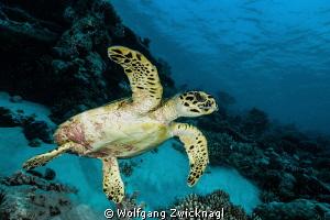 Fly turtle fly by Wolfgang Zwicknagl