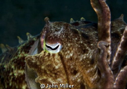 Cuttlefish by John Miller
