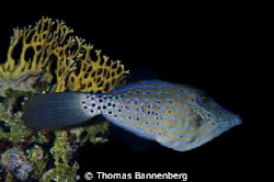 scrawled filefish (Aluterus scriptus)  NIKON D7000 in a... by Thomas Bannenberg