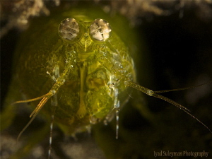 Green Mantis Shrimp by Iyad Suleyman